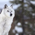 Montana wild life and the end of 911m